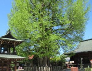 飛騨国分寺いちょうの木
