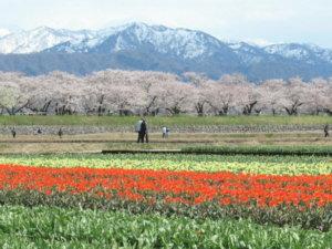 舟川べりの桜