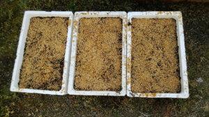 種を蒔いた発泡スチロール箱