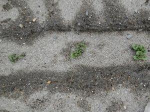 ジャガイモの芽出し
